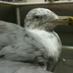 Seagull 07